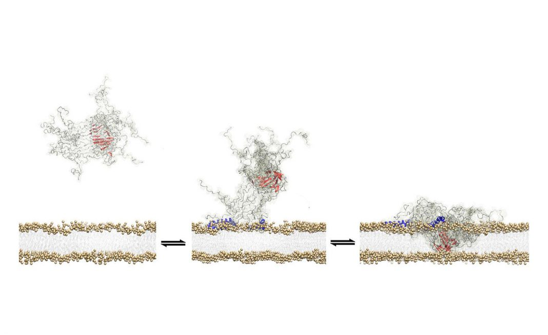 The study found that a structural core within a toxic tangle of a-synuclein protein molecules allows it to insert itself into the wall of a neuron. [Alfonso De Simone/Imperial College London]