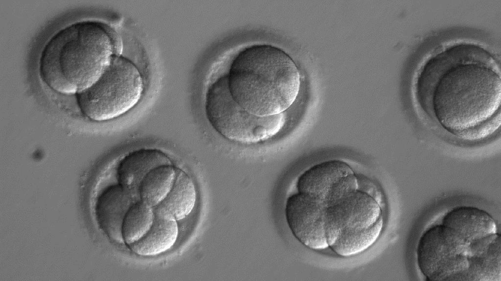 Embryos after gene editing and cell division. A recent Nature study found that paternal gene mutations in human embryos are best replaced with maternal genes. [Source: OHSU]