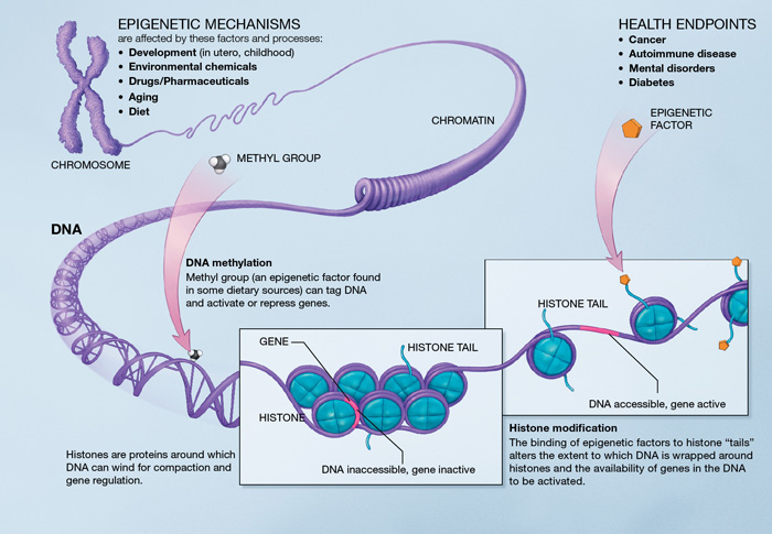 Diagram of how DNA methylation effects gene expression.[Courtesy of the National Institutes of Health]