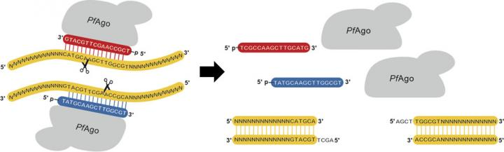 Restriction enzymes are essential tools for recombinant DNA technology that have revolutionized modern biological research; however, they have limited sequence specificity and availability. The <i>Pyrococcus furiosus</i> Argonaute (PfAgo)-based platform for generating artificial restriction enzymes (AREs) is capable of recognizing and cleaving DNA sequences at virtually any arbitrary site and generating defined sticky ends of varying length. [Behnam Enghiad and Huimin Zhao/University of Illinois at Urbana-Champaign]&#8221; width=&#8221;60%&#8221; height=&#8221;60%&#8221; /><br /> <span class=