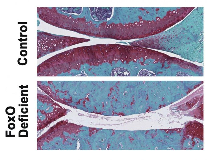These are images of knee joints from control and FoxO-deficient mice. The areas in red are joint cartilage that is destroyed in FoxO-deficient mice after treadmill running. [Lotz Lab/The Scripps Research Institute]
