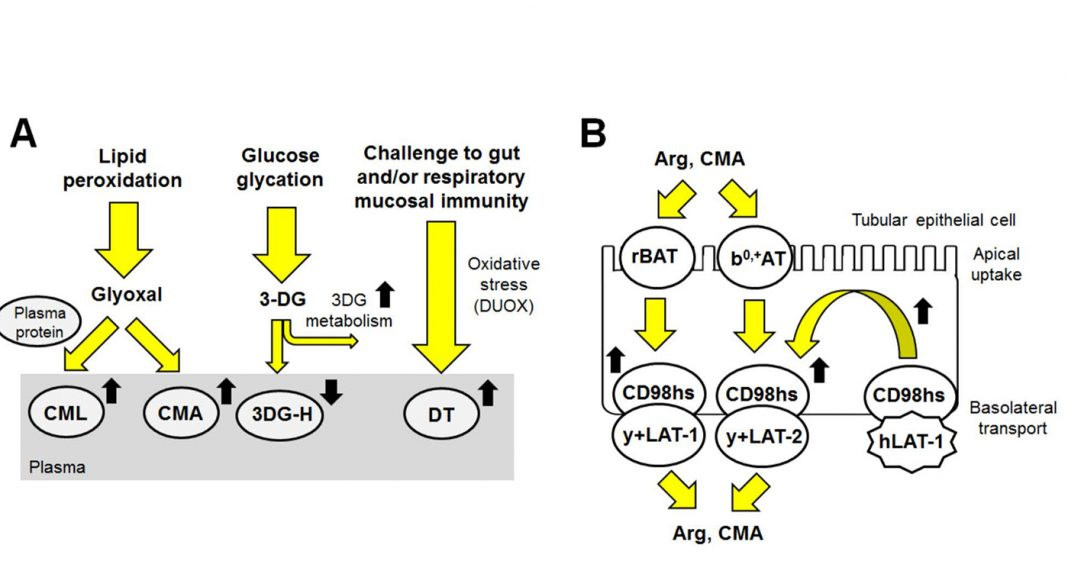 Schematic explanation for changes found in protein damage and amino acids in ASD. (A)Proposed mechanism for observed changes found in plasma protein glycation and oxidation adducts. (B) Transport of Arg and CMA across the renal tubular epithelium and proposed mechanism for increased renal clearance (increased Arg and CMA reuptake. Yellow-filled arrows show processes; black-filled arrows show changes observed (A) and changes expected (B) in ASD. [University of Warwick]