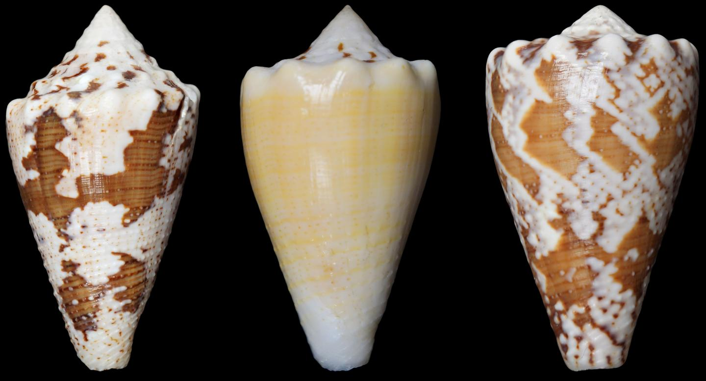 """The compound RgIA in the study was obtained from the venom of <i>Conus regius</i>, the royal cone snail. [My Huynh]"""" width=""""60%"""" height=""""60%"""" /><br /> <span class="""