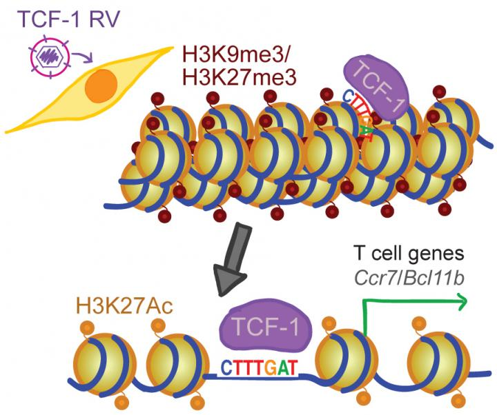 TCF-1 opens chromatin so that DNA can be read to make proteins, and it keeps chromatin open so that subsequent factors can access DNA to make protein that guide a maturing T cell to its final identity. [Lab of Golnaz Vahedi, Ph.D., Perelman School of Medicine at the University of Pennsylvania]