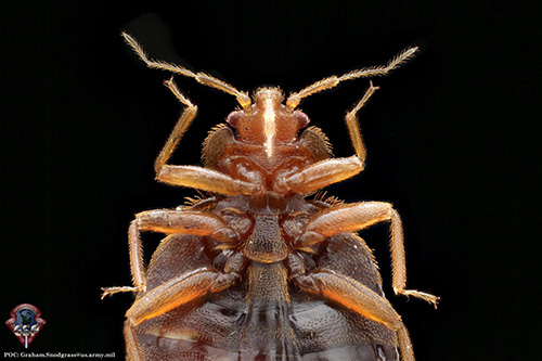 """This is a close-up of <i>Cimex lectularius</i>, the common bed bug. A recently completed metagenomics study provides a rich genetic resource for mapping the pest's activity and density across human hosts and cities, which can help track, manage, and control infestations. [Armed Forces Pest Management Bureau]"""" width=""""60%"""" height=""""60%"""" /><br /> <span class="""