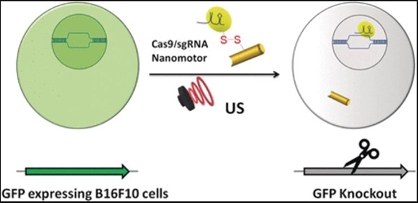 A CRISPR/Cas9 gene-editing system chugs into cells after being equipped with an ultrasound-powered nanomotor. The nanomotor