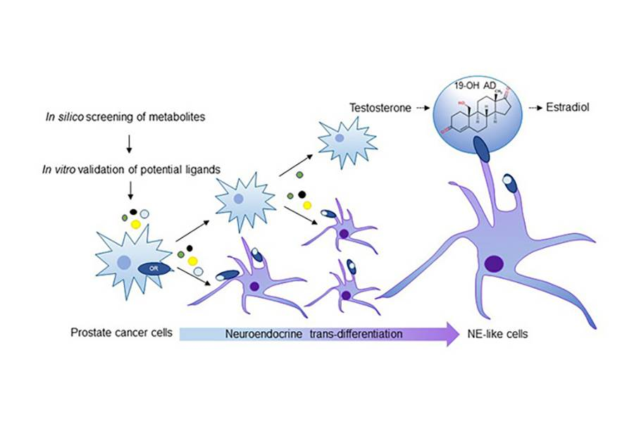 Stimulating an olfactory receptor in prostate cancer cells caused the cancer to morph into the more aggressive