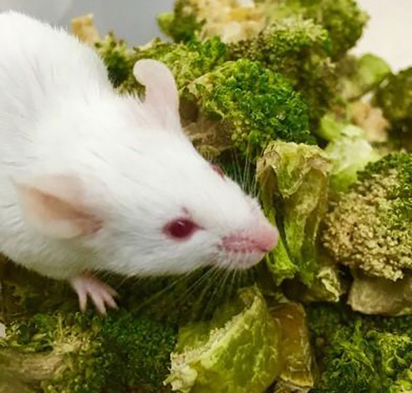 Mouse fed with the engineered microbe and a cruciferous vegetable-rich diet. [Chun-Loong Ho/The National University of Singapore]