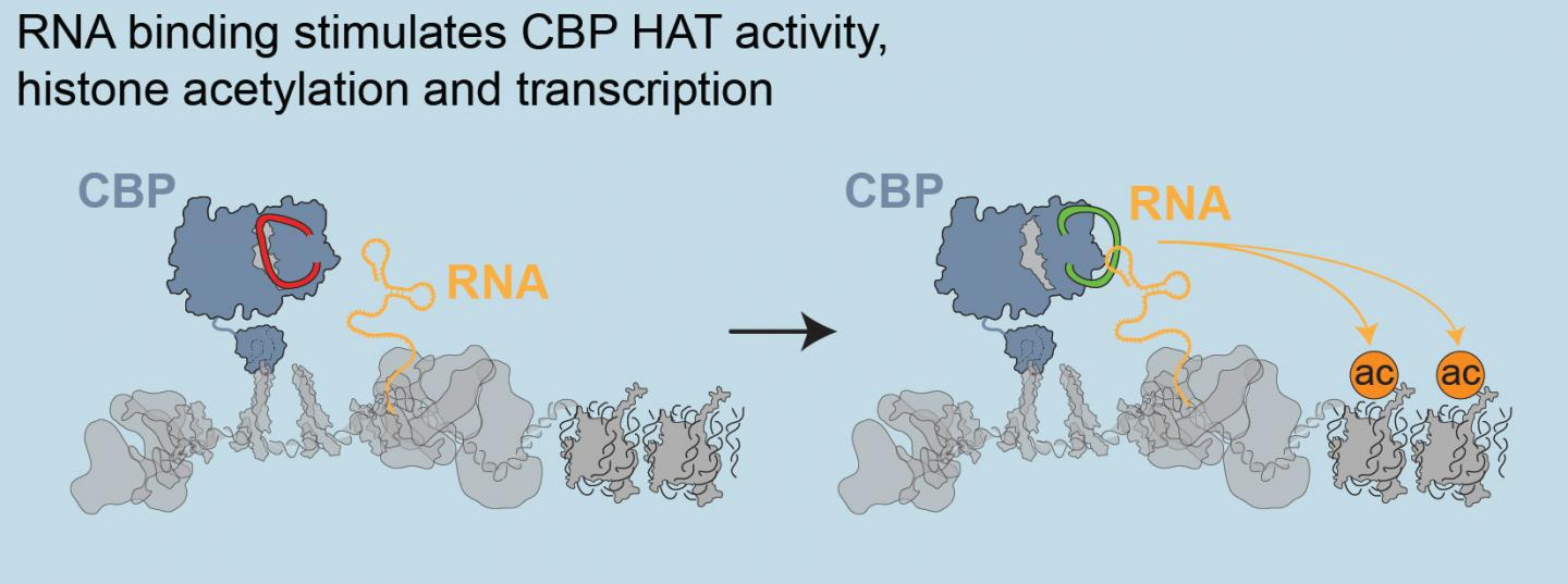 Enhancer RNAs boost the rate of gene expression from protein-coding genes. These noncoding RNAs bind with CBP, a transcription coactivator, to stimulate histone acetyltransferase (HAT) activity. [Laboratory of Shelley Berger, Ph.D./Perelman School of Medicine, University of Pennsylvania]