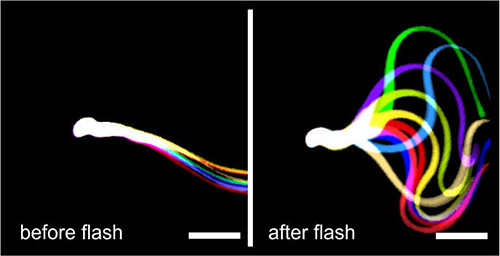 Flagellar waveforms of sperm that lacked an enzyme needed for motility