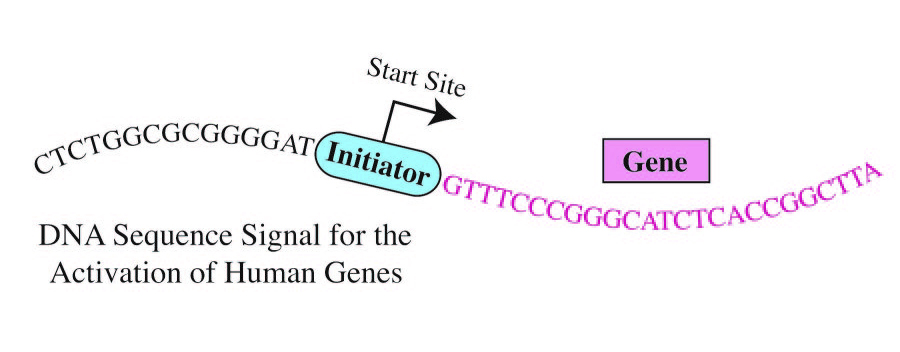 A more definite consensus sequence has been determined for the human Initiator, a core promoter element. The human Initiator appears to be located precisely at the start site of more than half of all human genes. [UC San Diego]