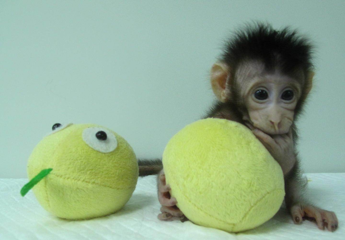 Hua Hua, one of the first monkey clones made by somatic cell nuclear transfer. [Qiang Sun and Mu-ming Poo / Chinese Academy of Sciences]