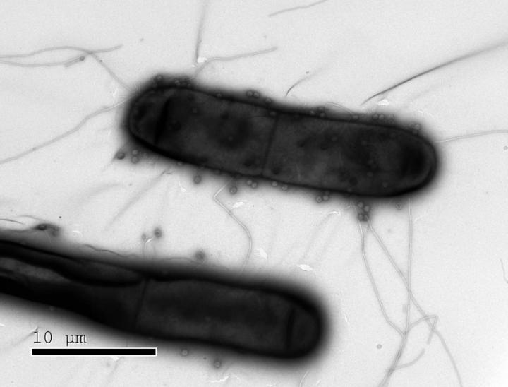 Bacteria like the ones shown in this image have numerous defenses against the phages (dots) that infect them. According to a new study