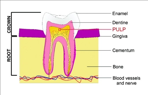 A biological approach to tooth repair uses a collagen sponge to deliver small-molecule drugs that stimulate stem cells in tooth pulp to generate dentine.
