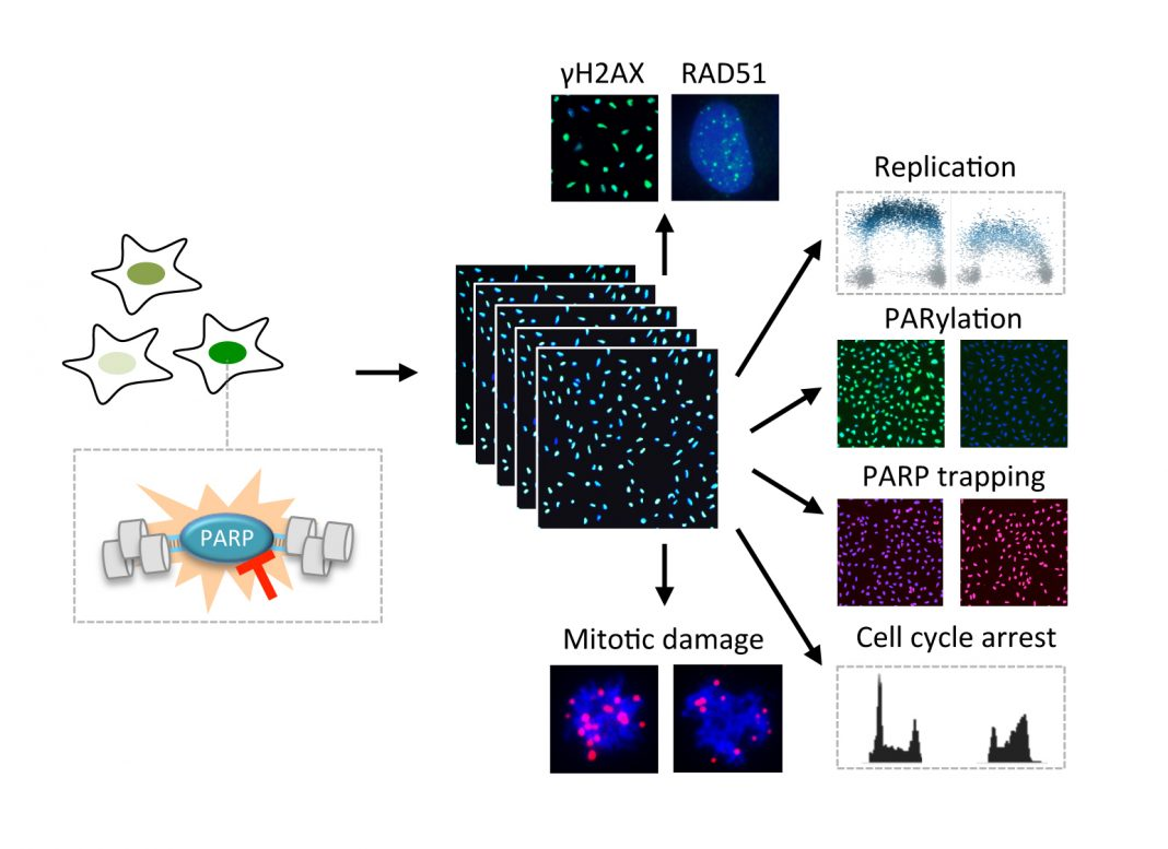 Multidimensional analysis of PARP toxicity using automated high-content microscopy. Various key parameters of cellular responses are investigated. [University of Zurich]