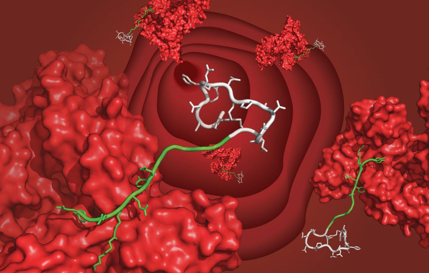 A bicyclic peptide (white) bound to serum albumin (red) through the newly developed ligand (green), floating in the bloodstream. [C. Heinis/EPFL]