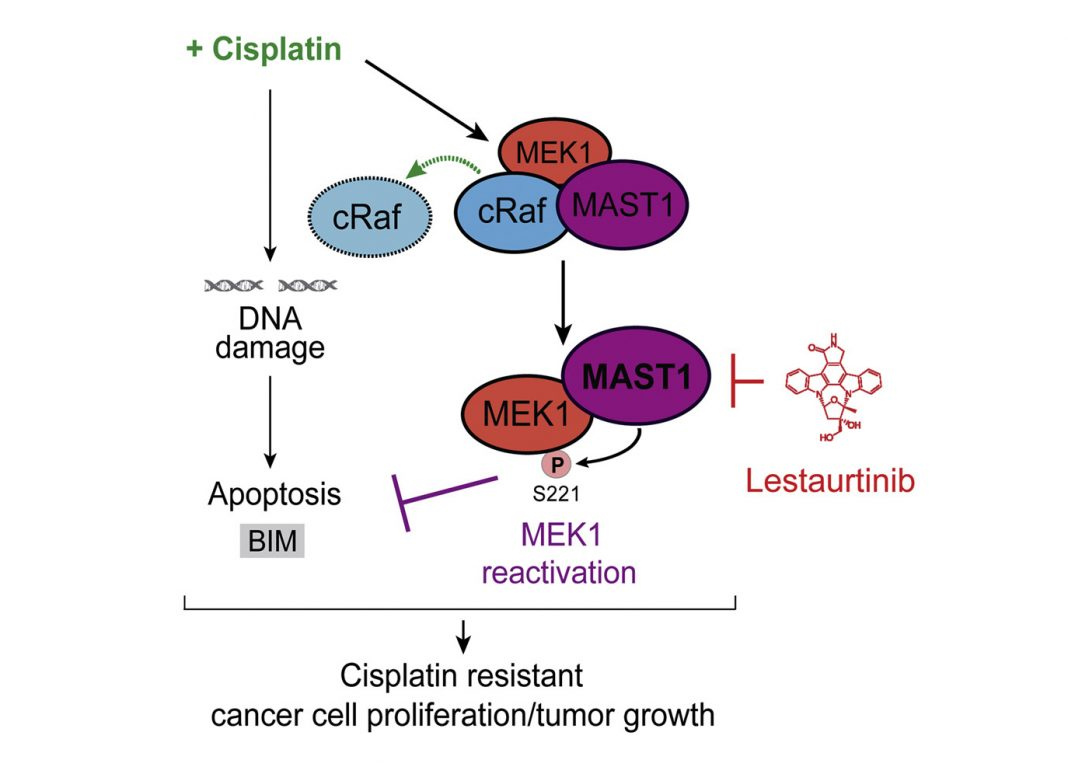 MAST1 Drives Cisplatin Resistance in Human Cancers by Rewiring cRaf-Independent MEK Activation [Graphical abstract from Jin et al. Cancer Cell (2018)]