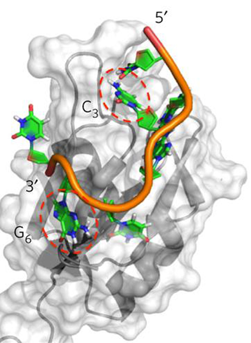 This is a schematic of the RNA-binding region of Rbfox2, shown in grey, attached to part of its natural RNA target, depicted in orange, green, blue, and red. [Yu Chen, Fan Yang, Gabriele Varani/University of Washington]