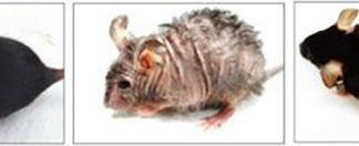The mouse in the center photo shows aging-associated skin wrinkles and hair loss after two months of mitochondrial DNA depletion. That same mouse