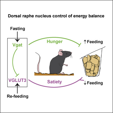 Brain mapping and molecular pharmacology approaches find specific neurons in the dorsal raphe nucleus as being essential regulators of feeding behavior. [Nectow et al., 2017, Cell 170, 429–442]