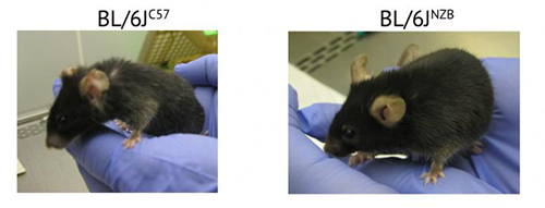 The two mice shown here are the same age (2 years old), and both were reared under the same conditions. Nonetheless, the mouse on the right has aged normally and shows evident signs of superior health. The only genetic difference between the mice is that they have each inherited a different healthy (nonpathogenic) mitochondrial DNA (mtDNA) variant from their mothers. Distinct mtDNA variants do not have to be pathogenic to have substantially different effects on the quality of aging. [CNIC]