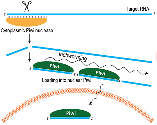 In germline cells, PIWI proteins silence jumping gene mRNA post-transcriptionally by cutting them into piRNAs. These piRNAs bind to a nuclear PIWI protein to repress jumping genes at the transcriptional level. [Ramesh Pillai/EMBL]