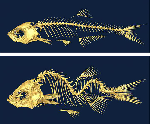 A new study in zebrafish by researchers at Princeton University and the University of Toronto suggests that irregular fluid flow through the spinal column brought on by gene mutations is linked to a type of scoliosis that can affect humans during adolescence. Also found in people, these genes damage the hair-like projections called motile cilia that move fluid through the spinal canal and lead to a curvature of the spine. The researchers used a temperature-sensitive mutation in the gene c21orf59 to induce scoliosis in adolescent zebrafish. The fish develop a normal spine when the mutation is turned off (top panel) but a curved spine when the mutation is on (bottom panel). [Science/AAAS]