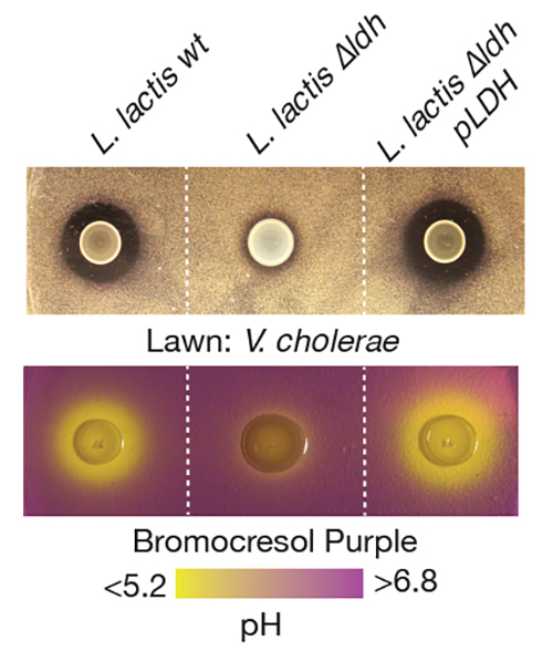 "Cell dish experiments showed that <i>L. lactis</i> had an antibacterial effect when grown on a layer of cholera bacteria. A strain of <i>L. lactis</i> deficient in lactic acid production (<i>L. lactis</i> ?<i>ldh</i>) did not show the same effect. [N. Mao <i>et al.</i>, <i>Science Translational Medicine</i> (2018)]"" width=""60%"" height=""60%"" /><br /> <span class="