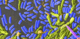 Some species of Vibrio bacteria (blue) can cause cholera in humans. A version of Vibrio cholerae designed to be harmless may one day protect people against the dangerous form of the bacteria. [Tina Carvalho/University of Hawaii at Manoa/CC BY 2.0]