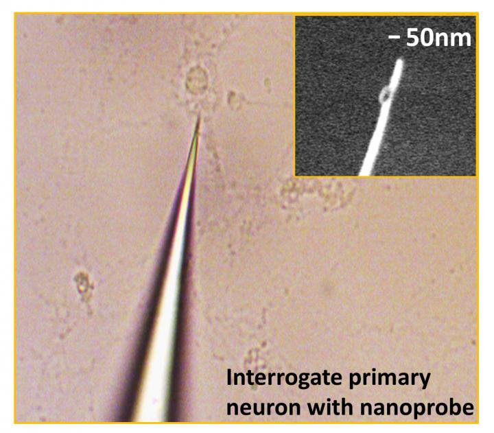 The 50-nanometer tip of this nanoplasmonic fiber tip probe allows direct measurement of protein levels in living single cells. [Feng Liang, Ph.D., Rowland Institute, Harvard University]
