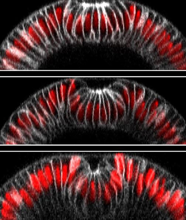 Example of optogenetics-guided tissue folding. The top image shows an embryo 10 minutes after illumination and the bottom one 13 minutes afterward. Light-activated cells have folded inward and thus moved downward, creating a furrow. [Stefano De Renzis/EMBL]