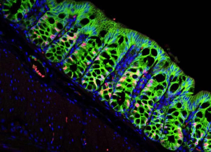 In a mouse with a functioning stem cell niche