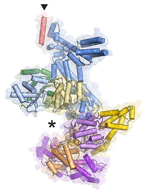 A model of the ORC protein machine shows where DNA fits (asterisk) and where the Orc6 piece attaches (triangle). [Fraziska Bleichert