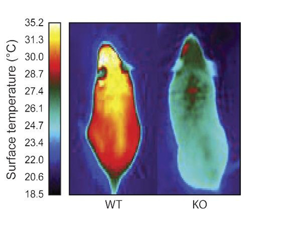 Infrared images indicate the much warmer temperatures of a normal mouse (left) compared to a mouse unable to make ERR gamma (right). [Salk Institute]