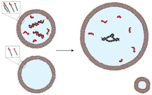 Fatty acid vesicles containing split fragments of an RNA enzyme (black) and high concentrations of short pieces of RNA (red) exhibit no enzyme activity because the short pieces bind to complementary sequences in the RNA enzyme (upper left). When vesicles comprised of membranes containing a simple fatty acid derivative and more complex molecules called phospholipids are mixed with those not containing phospholipids (lower images), the phospholipid-containing vesicles expand by taking up membrane components from the simpler vesicles. This growth dilutes the contents of the phospholipid-containing vesicles, separating the short pieces of RNA from the enzyme fragments, allowing the fragments to assemble and activating the enzyme (upper right). [Katarzyna Adamala, Ph.D., MGH]