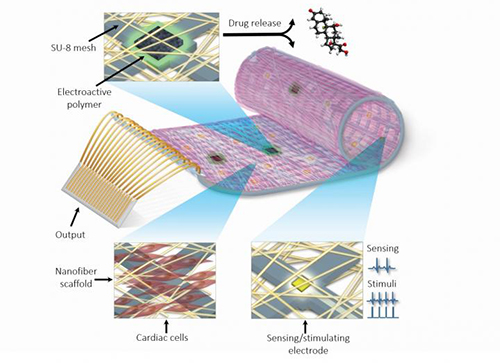 A remotely regulated living bionic heart patch is pictured. The engineered tissue is comprised of living cardiac cells, polymers, and a complex nanoelectronic system. This integrated electronic system provides enhanced capabilities, such as online sensing of heart contraction and pacing when needed. In addition, the electronics can control the release of growth factors and drugs for stem cell recruitment and to decrease inflammation after transplantation. [Tel Aviv University]