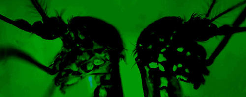 The mosquito at left displays more green florescent protein