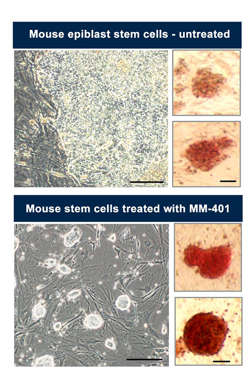 Mouse epiblast stem cells that have already begun the journey to differentiating into