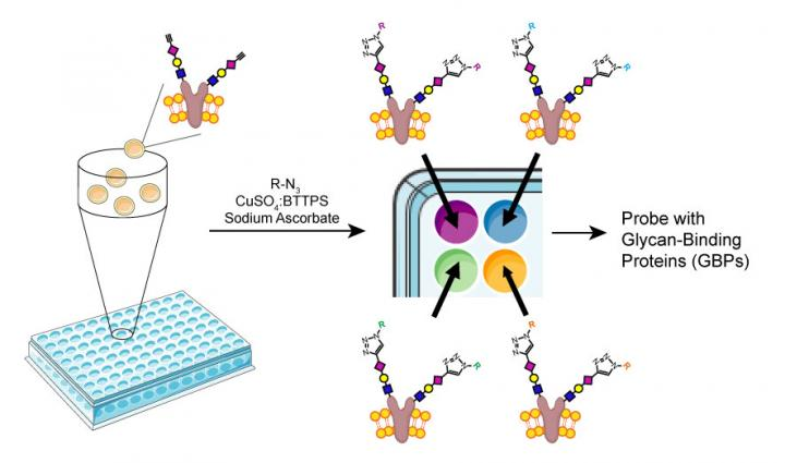 A new method for assembling a glycan array. [Wu Lab/The Scripps Research Institute]