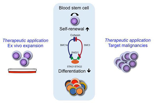 A genome-wide RNAi screen was used to assess the effects of 15,000 genes on the balance between self-renewal and differentiation of human hematopoietic stem cells (HSCs). The screen identified candidate genes whose knockdown maintained the HSC phenotype during culture. Such findings could lead to better protocols to grow these cells outside the body, potentially making bone marrow transplants more available to patients suffering blood cancers, or even identifying novel genes to target during the treatment of leukemia (left and right panels). Four genes in particular implicated cohesin, a ring-like protein complex that binds to the DNA in all of our cells, in the control of self-renewal versus differentiation in HSCs. Deficiency of cohesin causes an increase in self-renewal and a decrease in differentiation of HSCs. [Cell Reports]