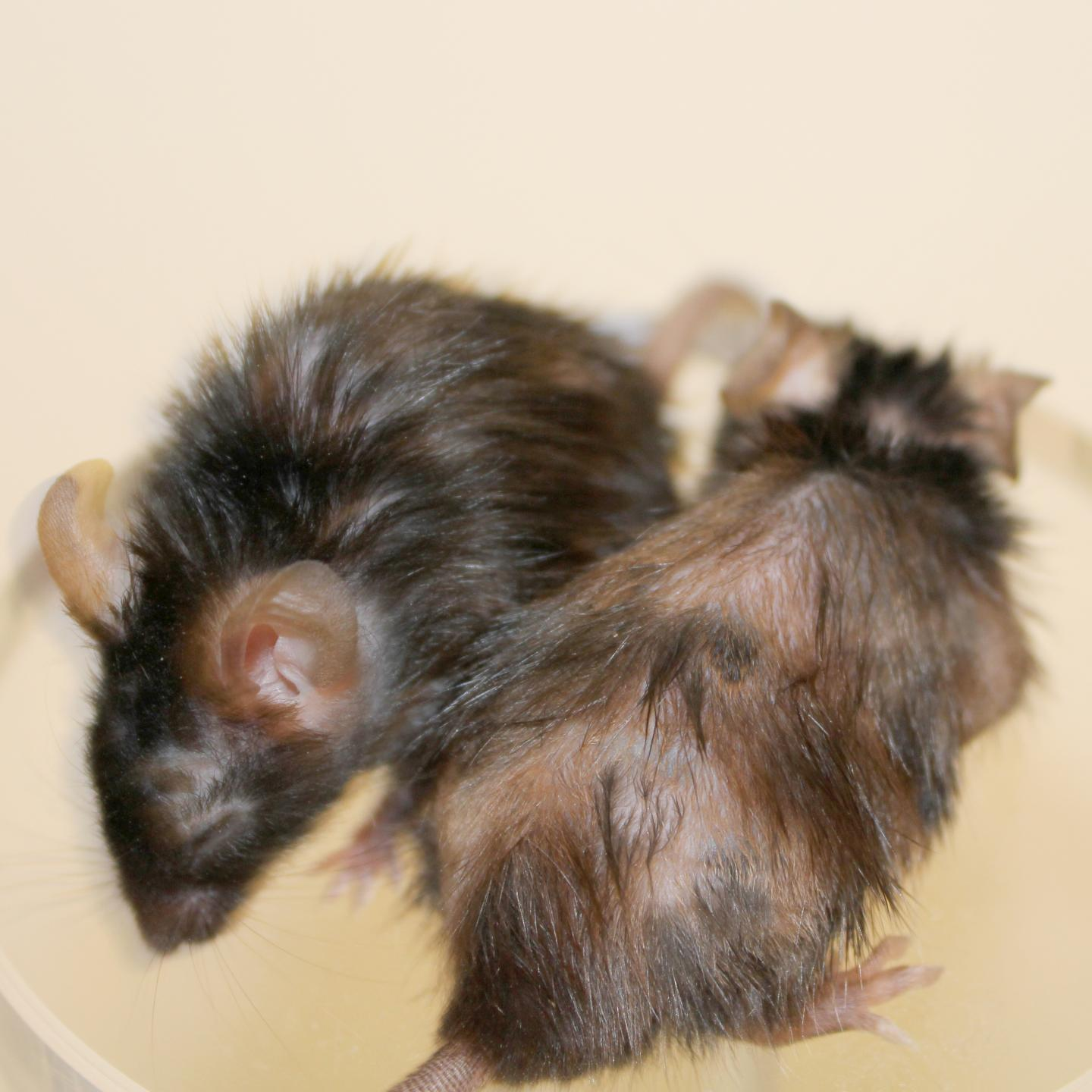 This photograph shows two fast-aging mice. The mouse on the left was treated with a FOXO4 peptide, which targets senescent cells and leads to hair regrowth in 10 days. The mouse on the right was not treated with the peptide. [Peter L.J. de Keizer]