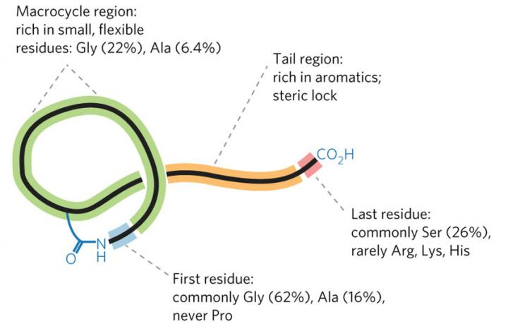 Lasso peptide structural features and common residues mined from RODEO analysis. [DOI:10.1038/nchembio.2319]