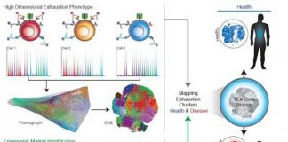 Disease-specific features of exhausted T cells have been revealed by epigenomic-guided mass cytometry profiling. Exhausted T cells have poor function in chronic infections and cancer but can be therapeutically reinvigorated. [John Wherry/Perelman School of Medicine at the University of Pennsylvania]