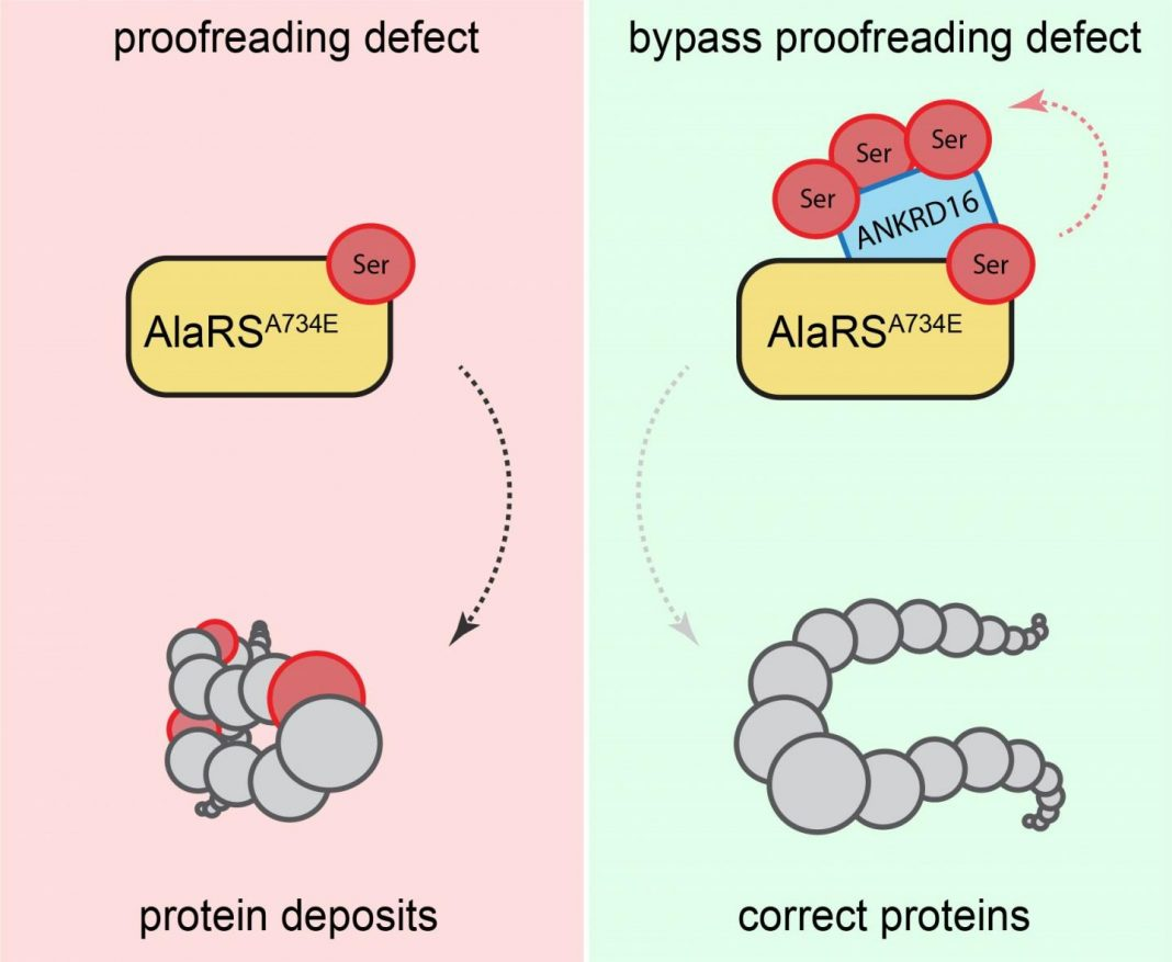 Proofreading defect bypassed. [Ackerman Lab/UC San Diego]