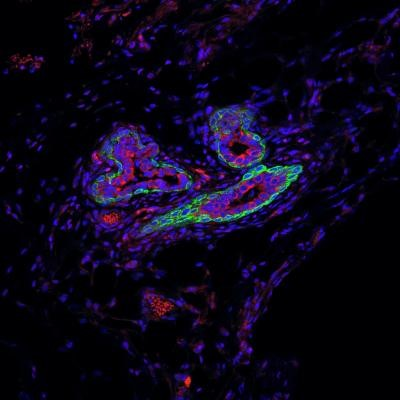 Researchers from Princeton University's department of molecular biology have identified a small RNA molecule that helps maintain the activity of stem cells in both healthy and cancerous breast tissue. Shown are different cell types in the normal mammary ducts of a mouse. The luminal cells (red) are milk-producing cells and the basal cells (green) have contractile functions, but also are responsible for regenerating the mammary gland, as they contain the majority of mammary gland stem cells. These stem cells, located in the outer layer of the gland, are exposed to microenvironmental factors and interact with various immune cells, including macrophages, in the mammary gland. [Toni Celià-Terrassa and Yibin Kang/Princeton University]