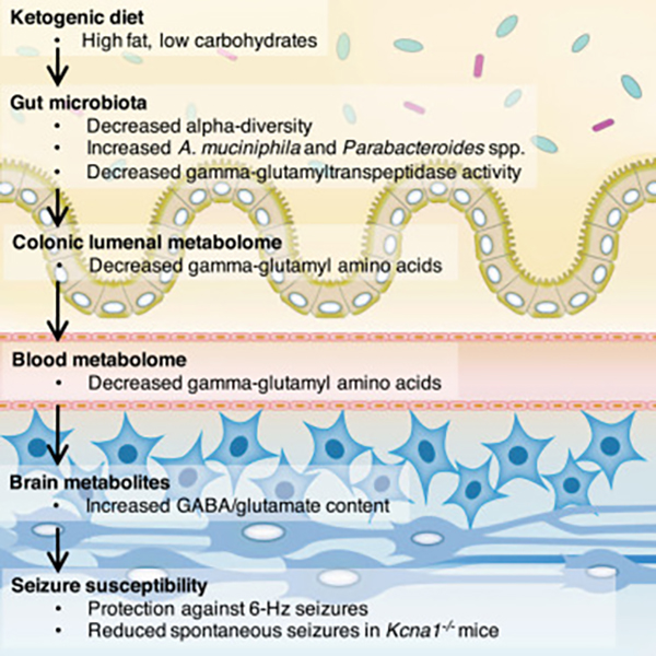 ketogenic diet and gut microbiota