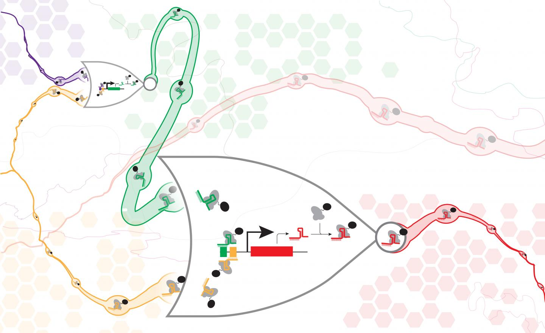 An artist's impression of connected CRISPR/dCas9 NOR gates. [University of Washington]