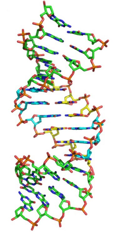 Scientists have created a double helix out of six nucleotides, two more than what nature had devised. [American Chemical Society]