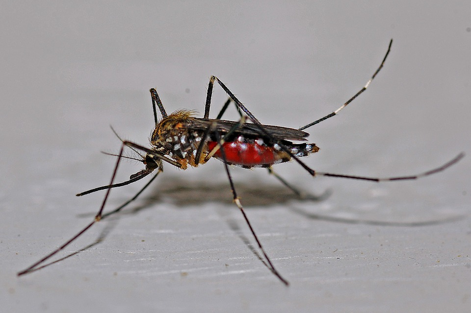 Dengue virus is primarily transmitted via mosquitoes.