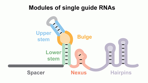 Six modules are conserved within native cRNA:tracrRNA duplexes and single-guide RNAs. Some modules are necessary for Cas9 activity and DNA cleavage; others can be modified. [North Carolina State University]